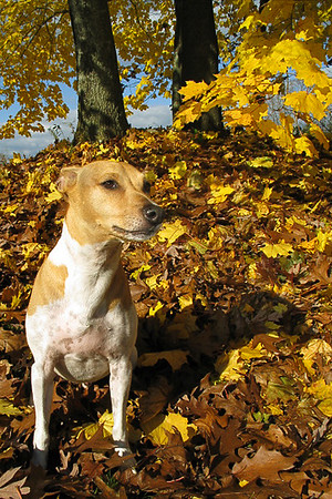 A fall capture of my dog amongst all the falling oak leaves.