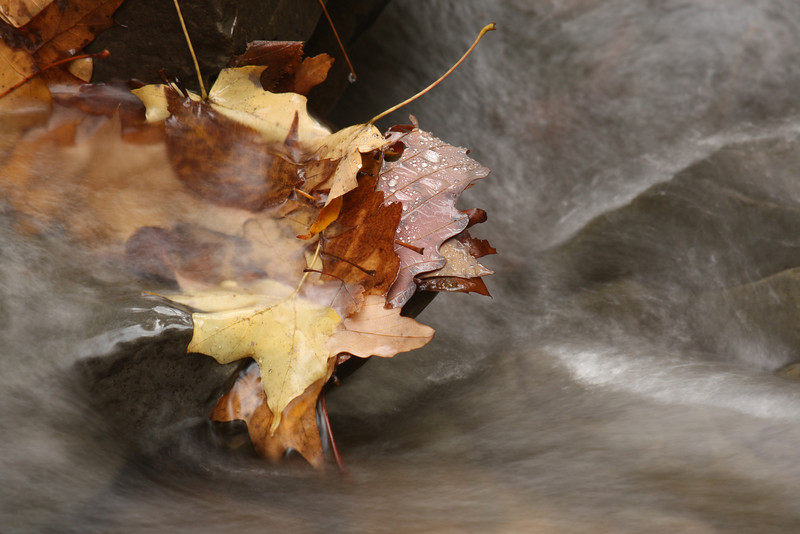 Leaf jam in stream, Canadice Lake NY.