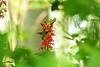 Canadice 32 hummingbird visits DSC_6962