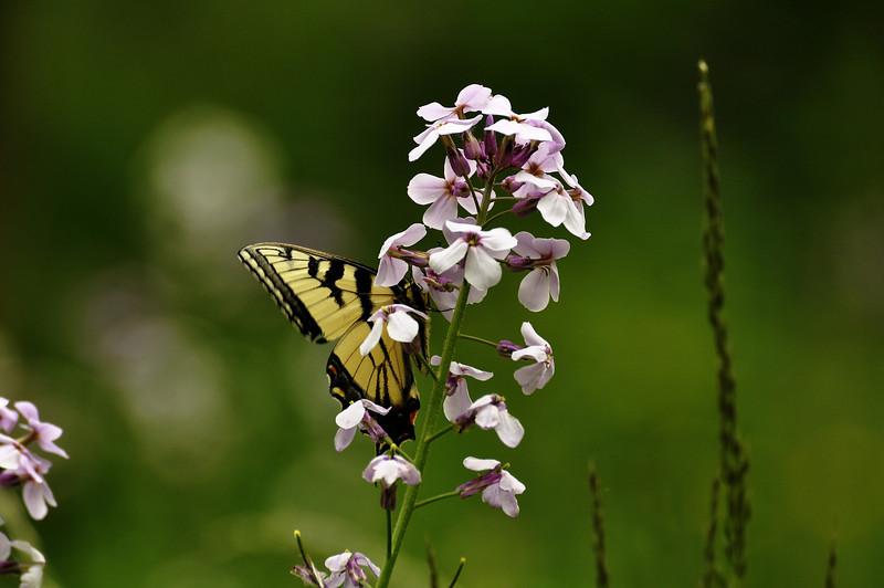 Butterfly 1_DSC8017