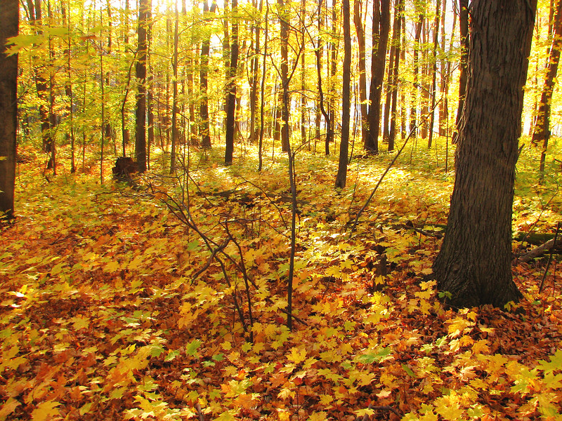 Yellow woods, Canadice Lake.