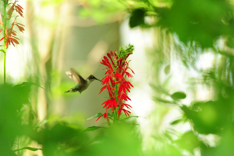 Hummingbird,wild,green,flower,red cardinal flower,Canadice