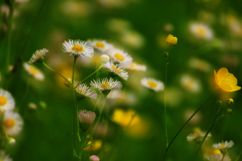 Daisies 7-dreamy_DSC8110