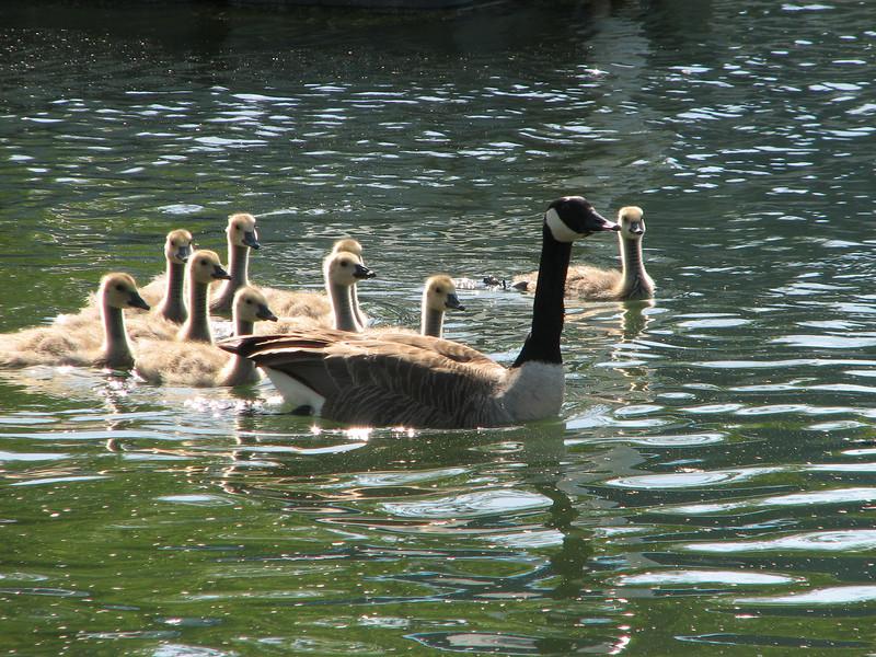 The goose family, Sodus Point NY.