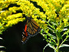 Butterfly and goldenrod, Wolcott NY.