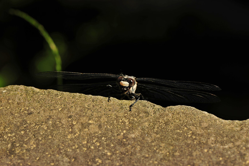 WG 060711 56-dragonfly DSC_0439