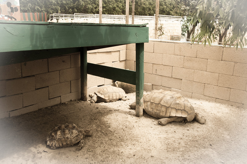 African Spur Tortoises