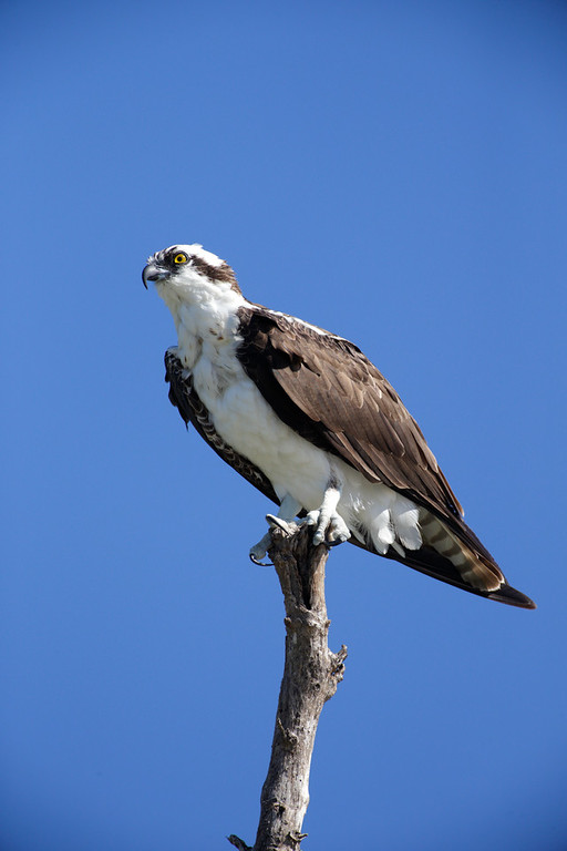 Beautiful Osprey near Sanibel Island, Florida.
