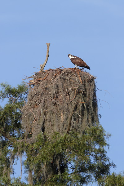 Osprey nest at Sparkleberry Swamp, SC