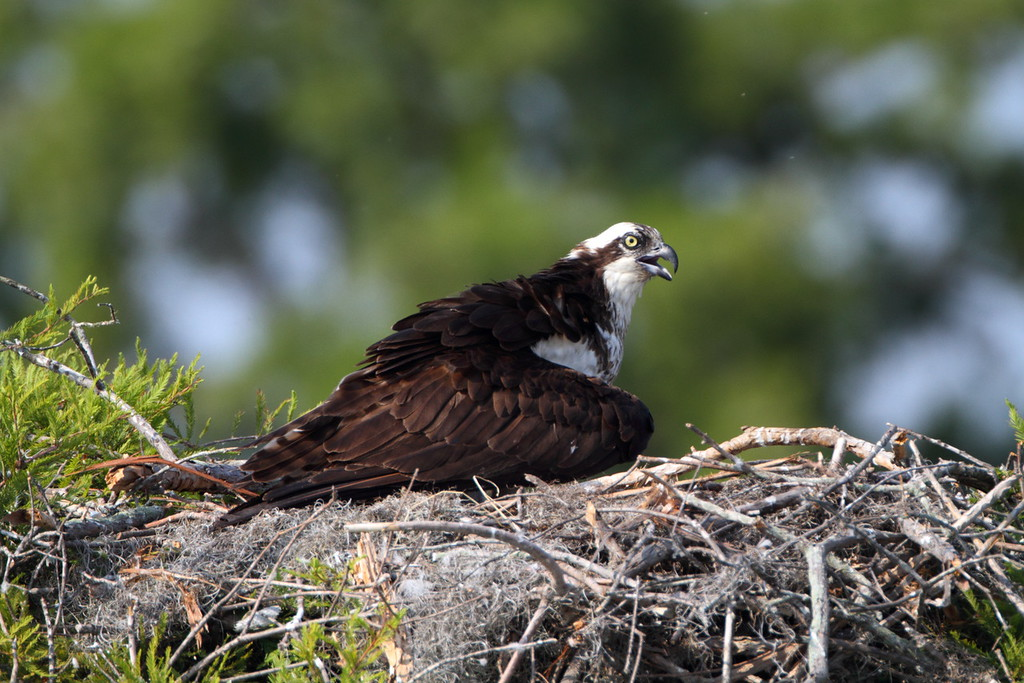 Osprey nest on Lake Marion, SC.