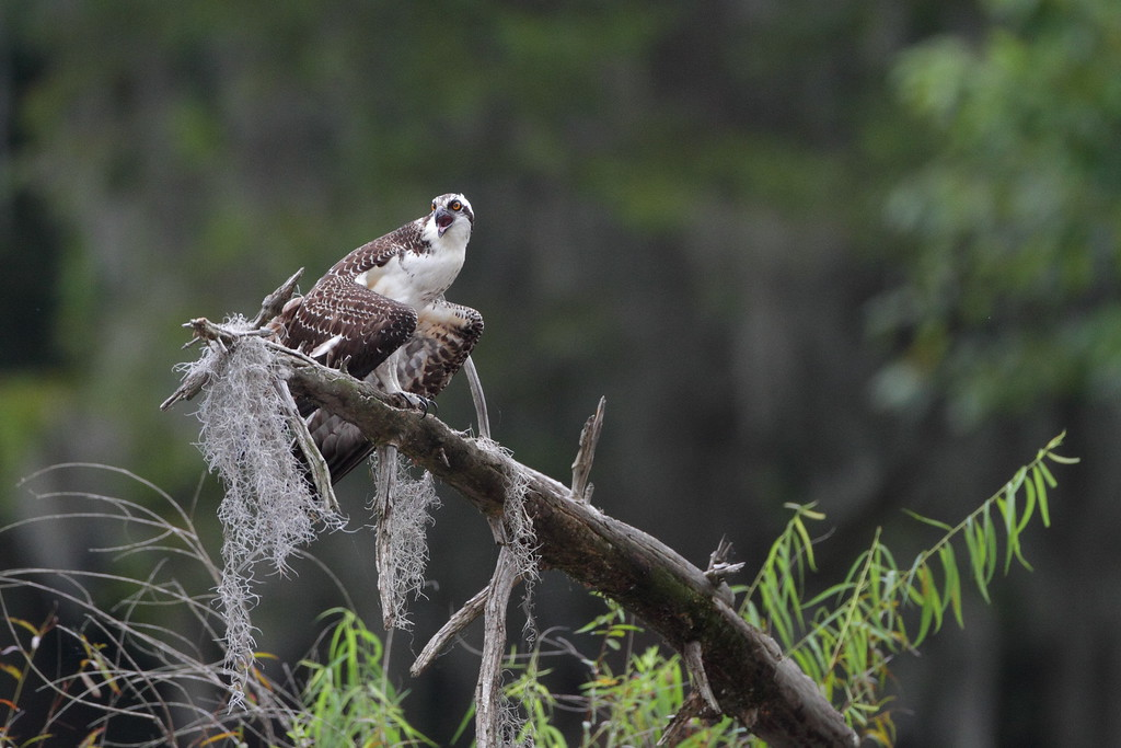 Ospreys don't perch low in the swamp very much, got lucky here. Taken in Sparkleberry Swamp north of Lake Marion, SC.