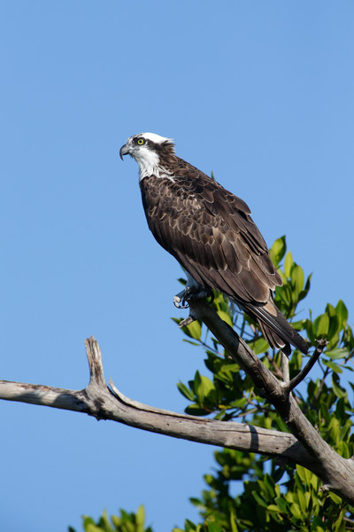 Beautiful Osprey near Sanibel Island, Florida.