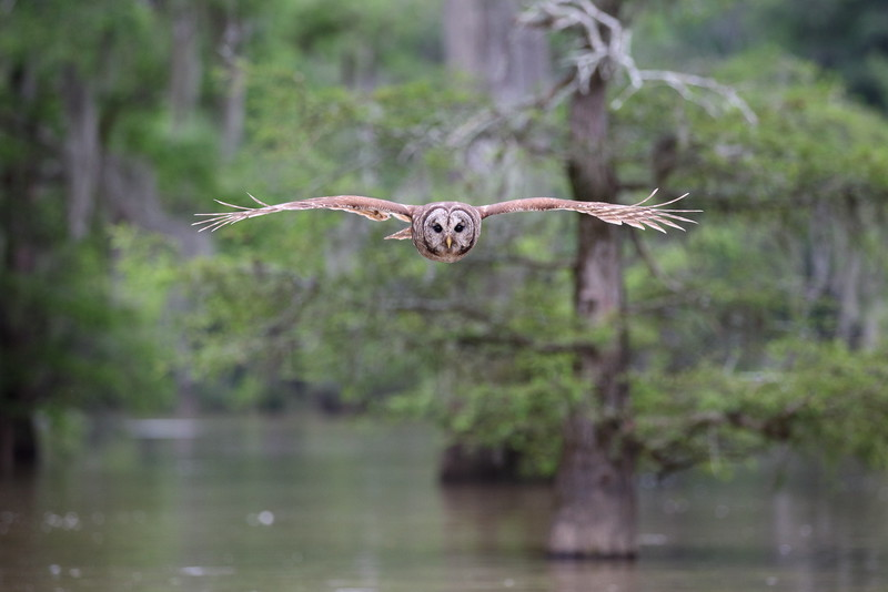 I've found an area of the Sparkleberry Swamp at the headwaters of Lake Marion in South Carolina where the barred owls reaspond very nicely to judicious use of a Barred Owl call. While very close flyby's are the normal, I've only been attacked once, and have learned to avoid that since. The silent flight of these guys is most impressive! Photographed from a kayak.
