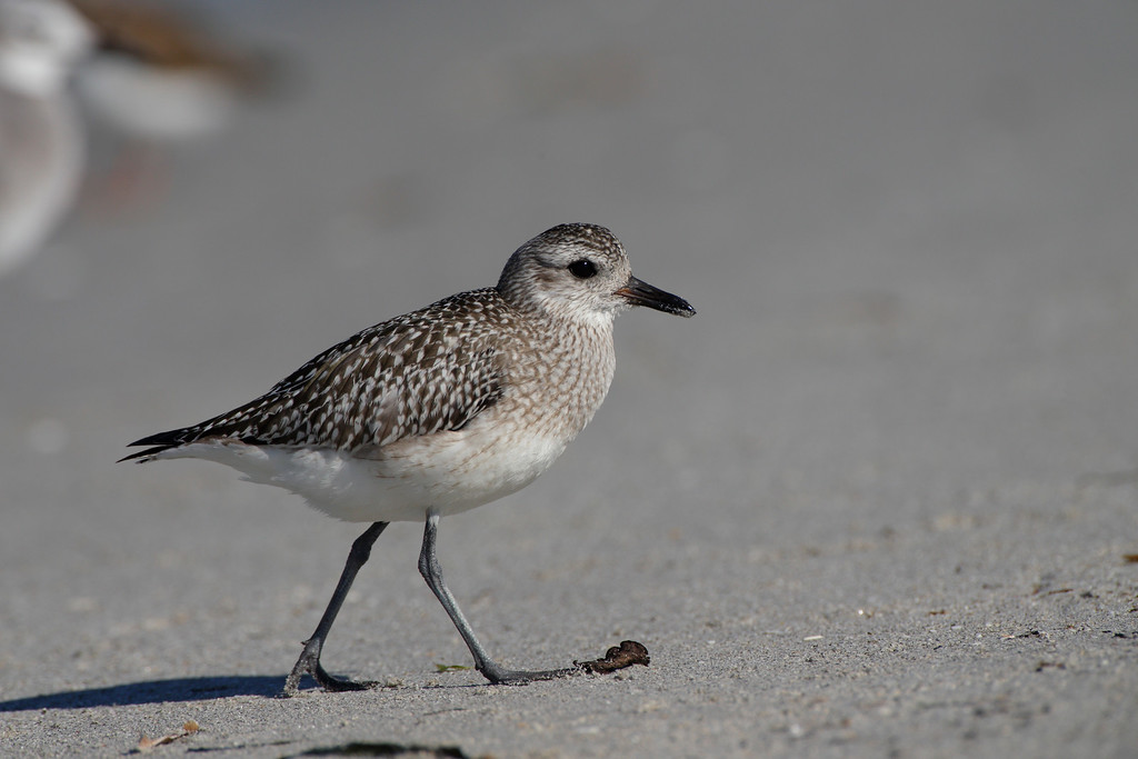 Photographed this guy on Sanibel Island in Florida
