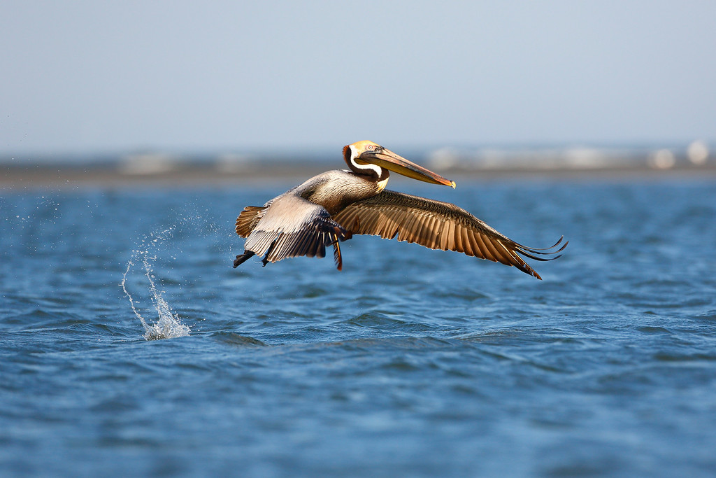I had the light on my side here! I love pelicans because of their diving ability and amazing feather texture. The tide and light were in my favor shooting these guys. It was probably one of the funnest days of my life! I was shooting hand held, knee deep in the ocean. I shot until the tide pushed me back in.