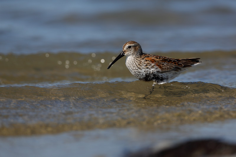 Dunlin- another small shorebird which brings a challange when trying to fill the frame.