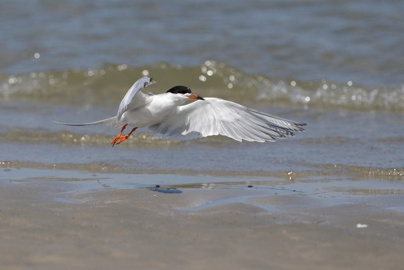 Forster's Terns on Deveaux Bank, South Carolina