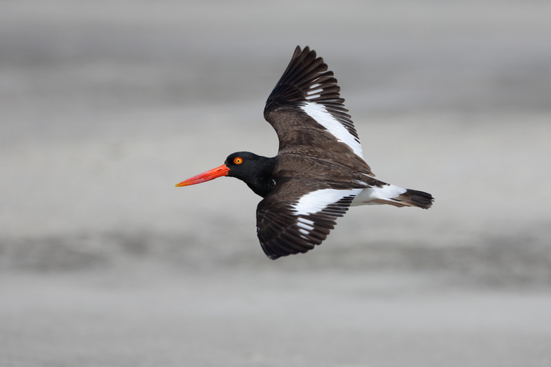 Oyster Catchers are some of my favorite shore birds because of their striking bill and eye color. Enjoy!