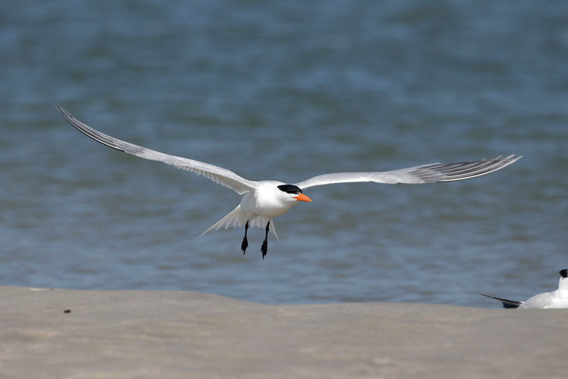 Royal Terns on Deveaux Bank, South Carolina
