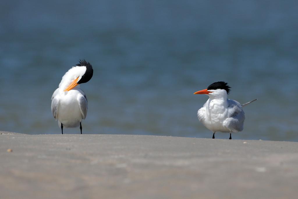 Royal Terns on Deveaux Bank, South Carolina