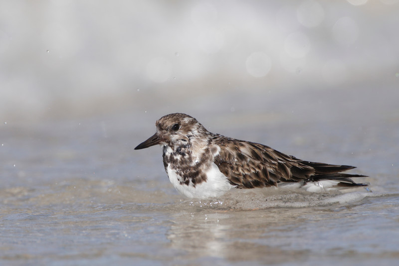 Ruddy Turnstones at Sanibel Island