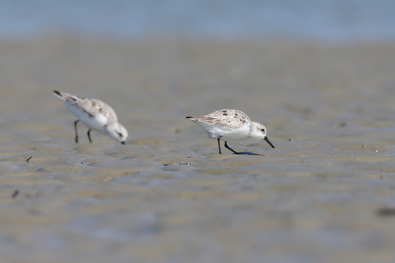 Sanderlings from Deveaux Bank, SC