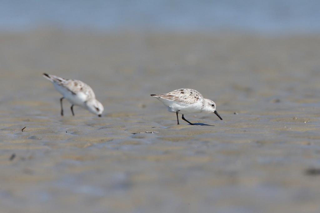 Sanderlings from Deveaux Bank, SC