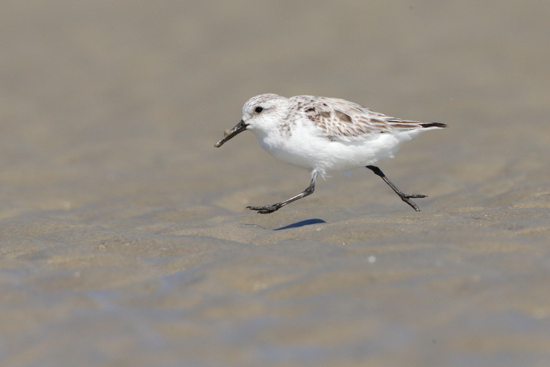 Sanderling from Deveaux Bank, SC