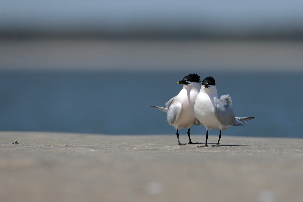 Sandwich Terns doing their thing at Deveaux Bank off the coast of South Carolina