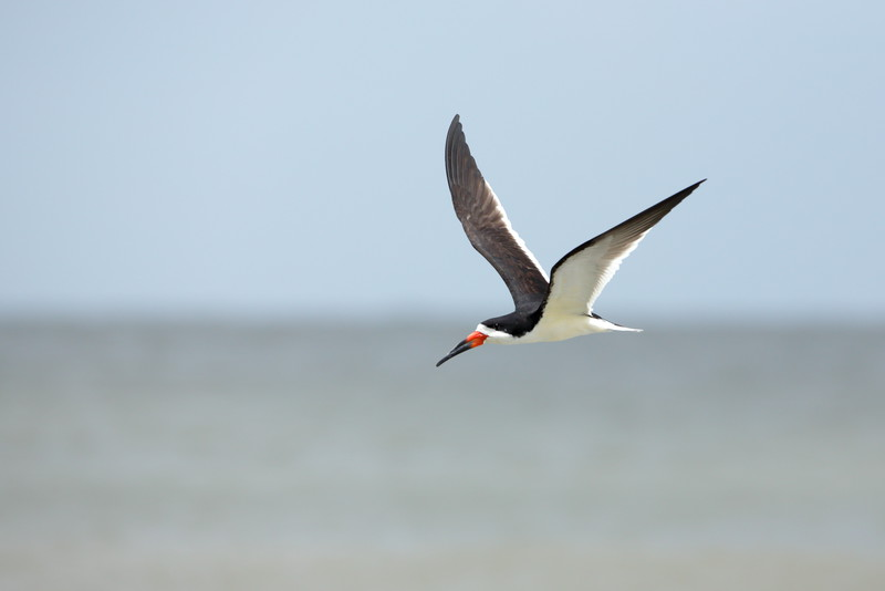 "Skimmers have amazing flight abilities, able to ""skim"" the top of an ever changing surf and and scoop up fish with their elongated lower bill. Their wing patterns make it very simple to distinguish them in flight with groups of other shorebirds."