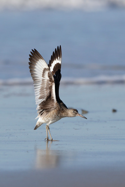 Willet stretch!