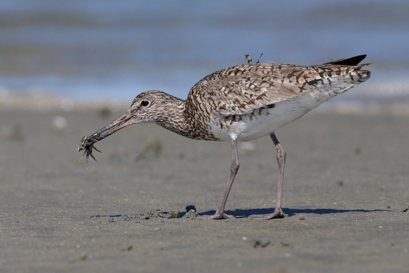 Willet chowing down on some fiddler crabs!