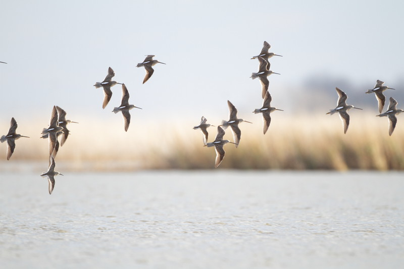 Love shorebirds....Here are some Willets for you.