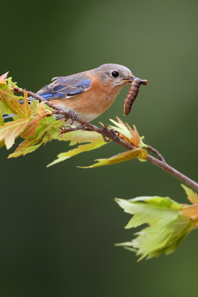 This is some of my early work....way early. Had some bluebirds build a nest near my mailbox. I set up a perch and used distant trees for the green background.