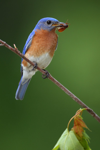 This is some of my early work....way early. Had some bluebirds build a nest near my mailbox. I set up a perch and used distant trees for the green background. This image won a national contest with Wildbird Magazine!