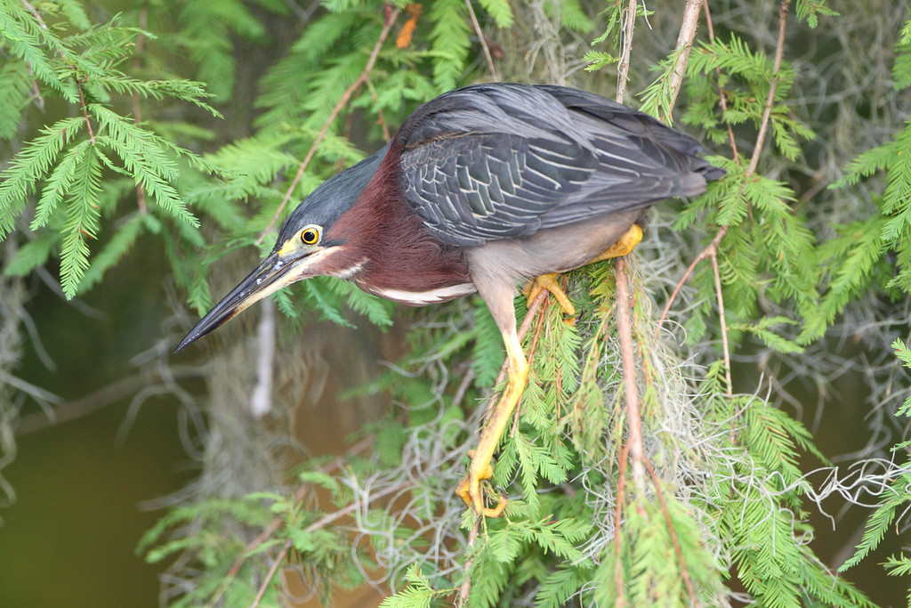 Green Heron in Sparkleberry Swamp north of Lake Marion, SC. Photographed from a kayak.