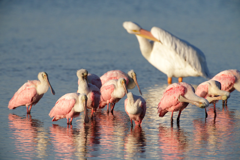 Photographed these spoonbills at Ding Darling in Florida, around November 2012.