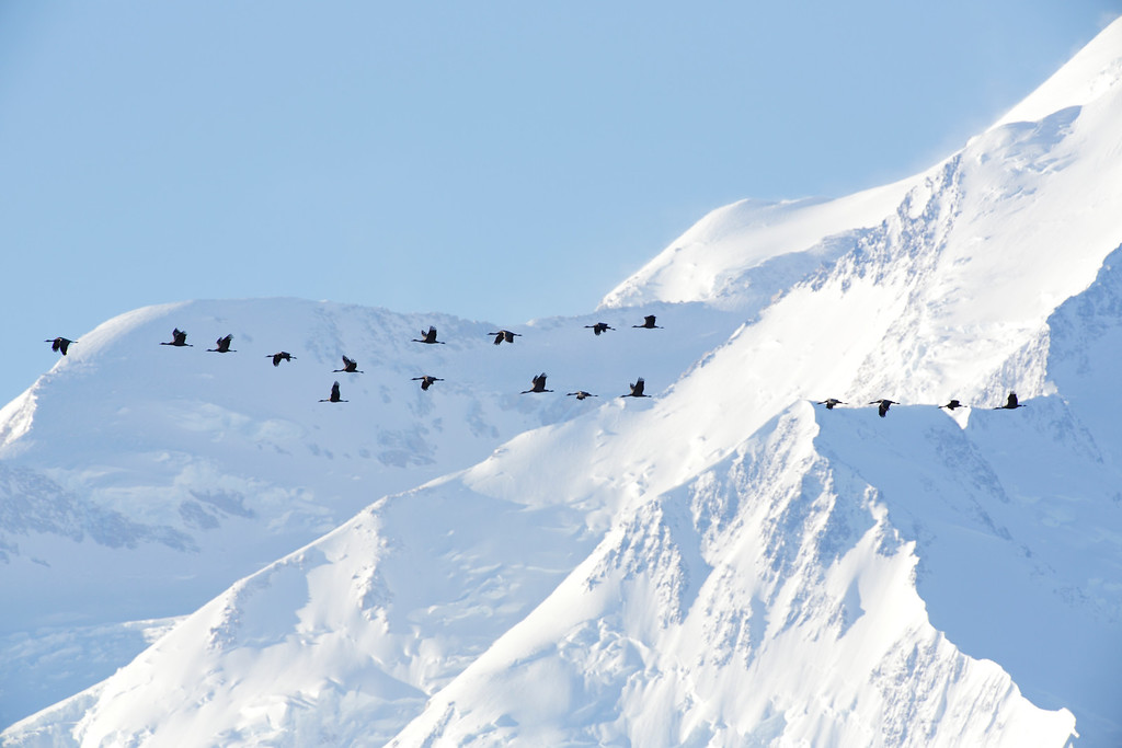 Sandhill crane migration over the Alaskan mountain range in Denali National Park, Alaska.
