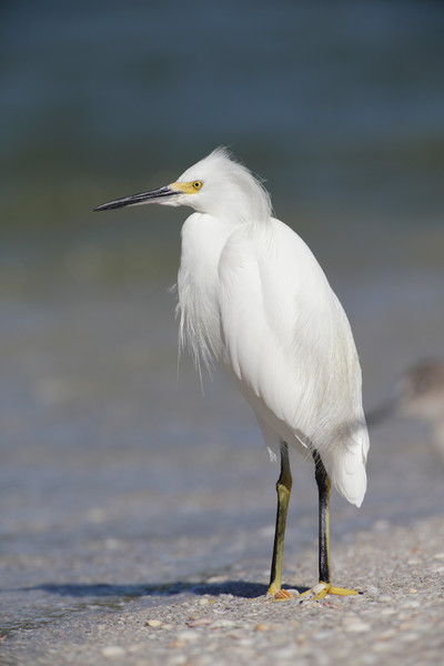 I will never get tired of shooting snowy egrets. Beautiful birds.