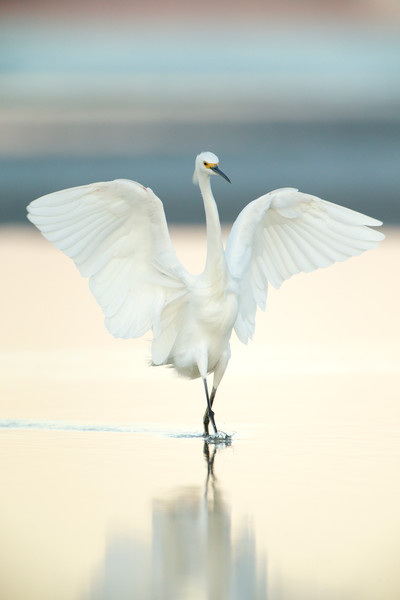 """The Dance"" A snowy egret's feeding techniques on display in a shallow tidal pool."