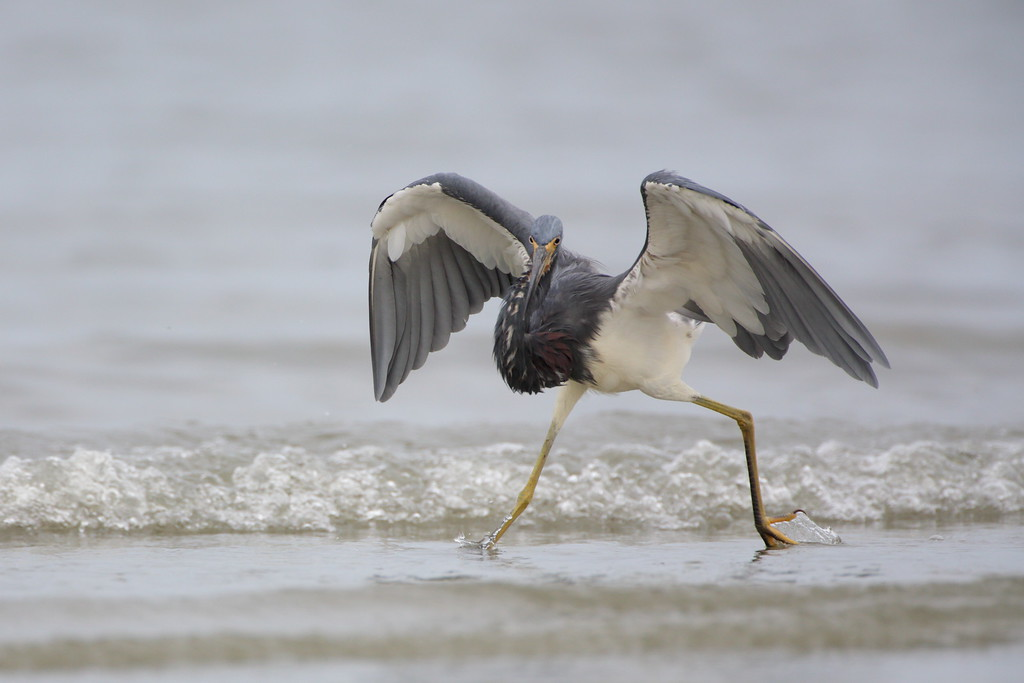 Some heron and egret species have fascinating methods of hunting. This tricolor heron danced around the surf and tidal pools rounding up fish like a rancher herds cattle. It's awesome behavior to photograph!