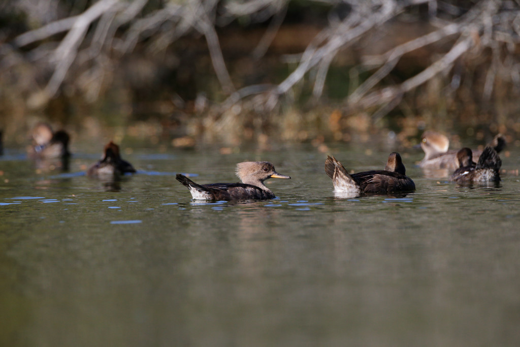 Hooded Mergansers from Seabrook Island. There are females in this gallery as well as first spring males