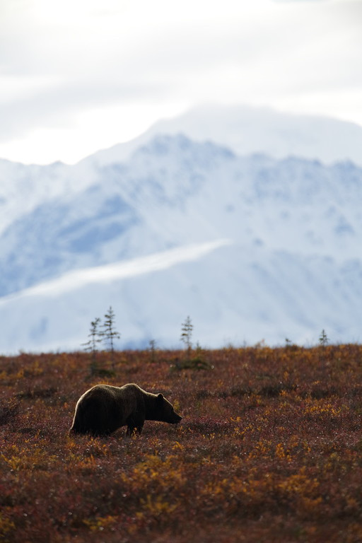 This grizzly surprised us, but not the moose we were shooting. The moose took off long before we were aware of the Griz.