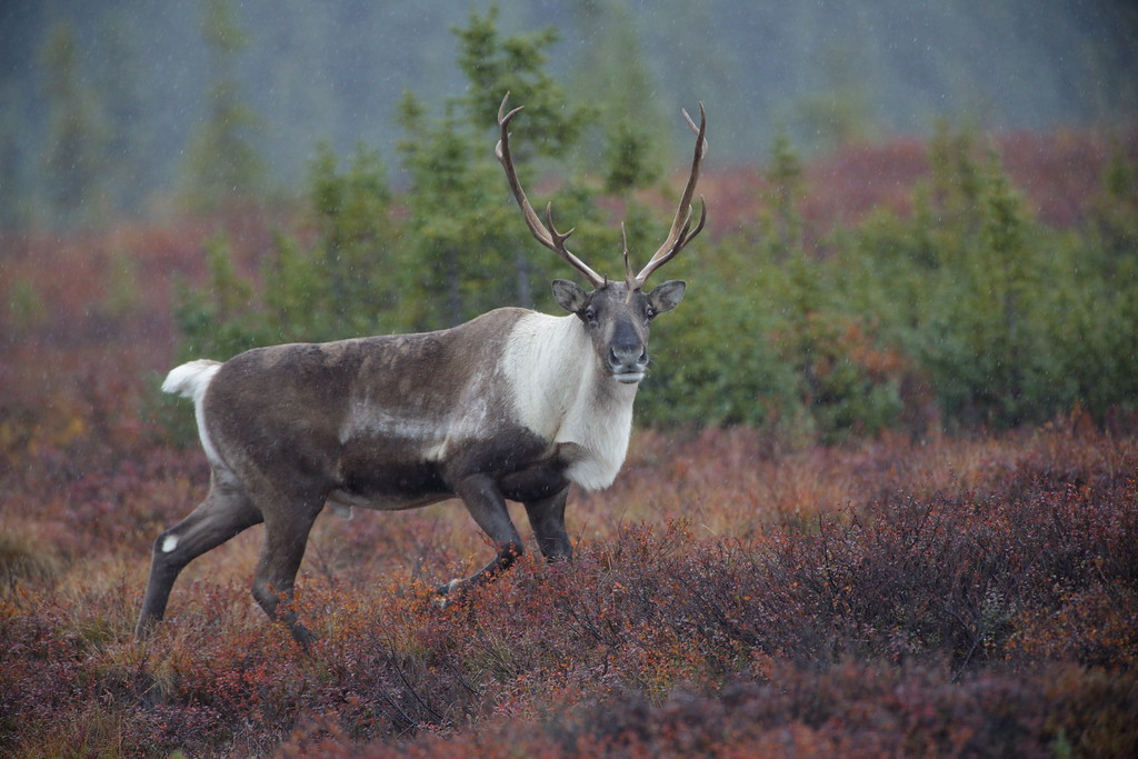 All these guys were photographed in Denali National Park, Alaska. Some, in the pouring rain and hail.
