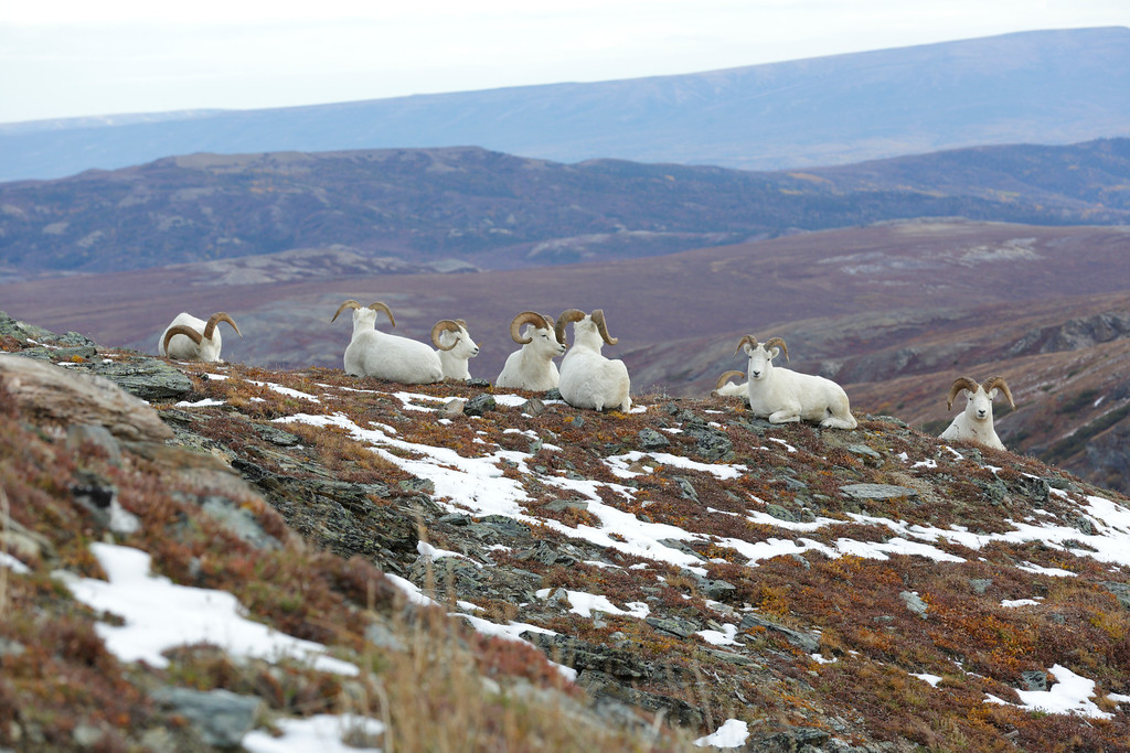 These Dall Sheep were photographed in the Savage River area of Denali National Park in September of 2012. The climb was difficult with all of the gear, but well worth it. Photographed with a Canon 5D III and a 500mm.