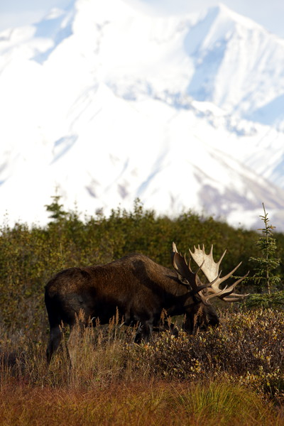 The largest bull moose you see in this gallery took awhile to photograph. Myself and another photographer followed him from a distance all day through Denali, waiting for him to get out of the thick tundra and in a shootable view. Finally, after about 8 hours, he came out. The other moose photographed here were incidental on other excursions through Denali.