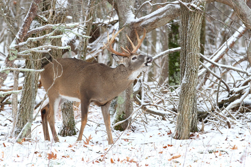 "Shot these whitetail on a December 2011 trip to Shenandoah National Park with my good friend Ben Clewis. Shenandoah National Park has since then began an absurd ""research"" project that will have many mature bucks tagged with oversized collars until their death. This obstructs the habits and ability of the wildlife, the desire of the people who wish to go there and appreciate them for their beauty, and the photographers who try to capture their natural wonder."