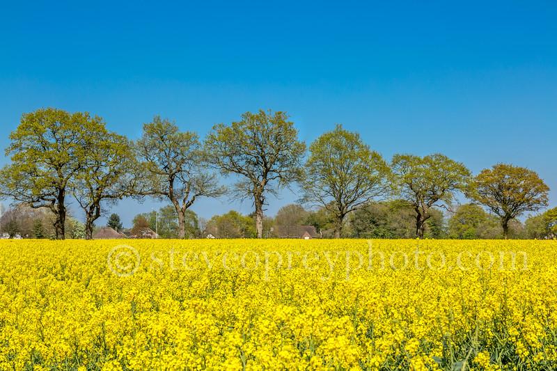 Rapeseed Fields, Wythall, Birmingham