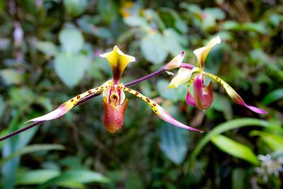 Kinabalu orchid (Paphiopedilum lowii)