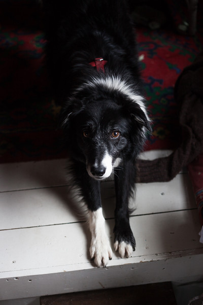 Border Collie given a home on 'Carolien' by Joan O'Sullivan. Joan rescues dogs and distributes them between people living within the community. Shoreham-By-Sea, Sussex, UK. April 2016.